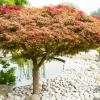 Liściaste drzewa ozdobne doogrodu – które wybrać?
