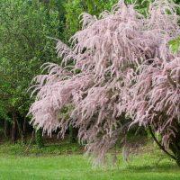 Tamaryszek – odmiany krzewu